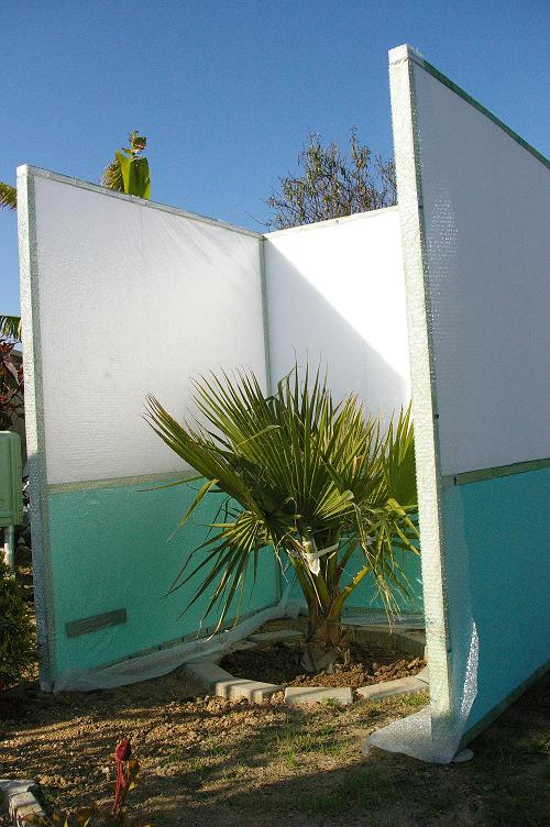 Washingtonia..jpg