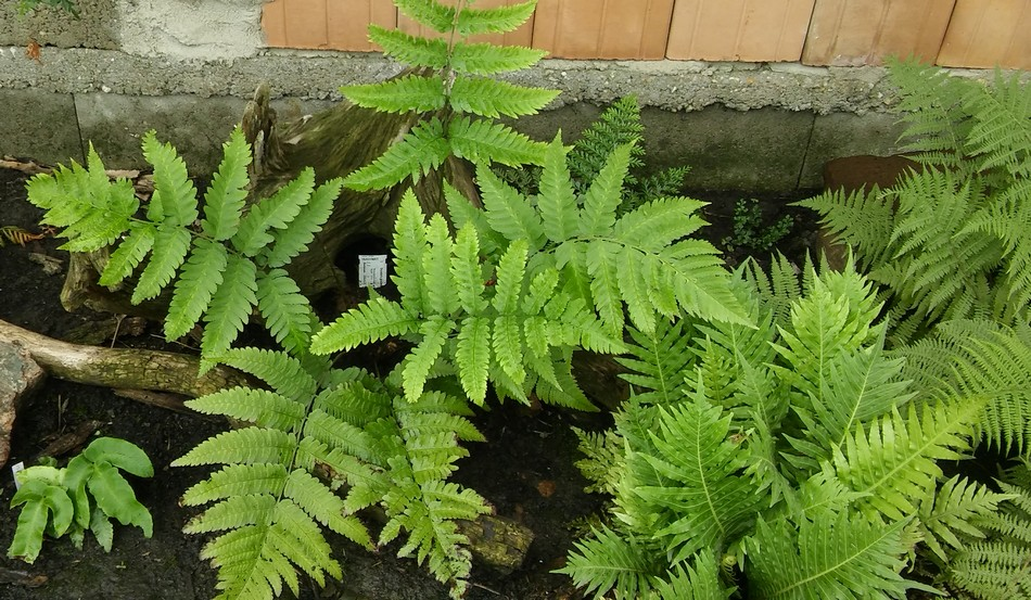 Dryopteris goldieana.jpg
