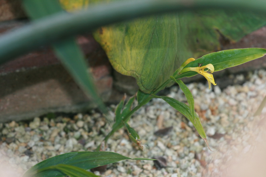 Cautleya gracilis.jpg